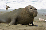 Elephant Seal Male, Close Portrait, Northern Elephant Seal, Piedras Blancas Rookery, San Simeon, California