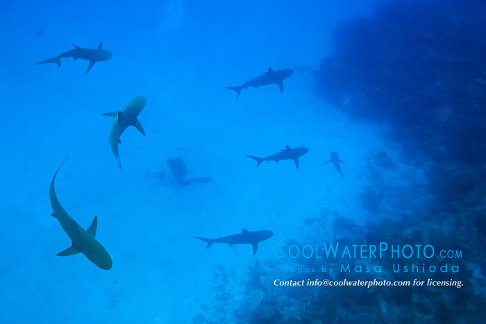 Caribbean Reef Sharks, Carcharhinus perezi, and diver, West End, Grand Bahamas, Atlantic Ocean