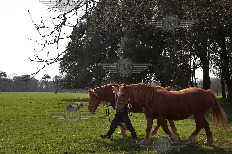 A man tends to two Suffolk Puncher work horses on the Somerleyton Estate, Suffolk...