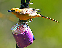 Adult female hooded oriole at feeder