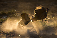 Back-lit fighting Guineafowls kicking up dust
