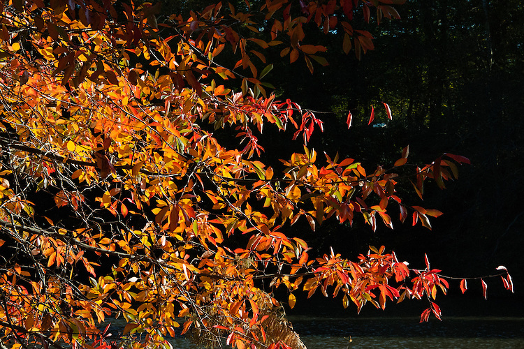 Nyssa aquatica, late October. Common names include: Water tupelo, Cottongum, Wild olive, Large tupelo, Sourgum, Tupelo-gum, and Water-gum. A large, long-lived tree in the tupelo genus native to the swamps and floodplains of the southeastern United States.