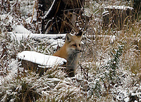 A red fox (Vulpes vulpes) in Yellowstone National Park during winter.