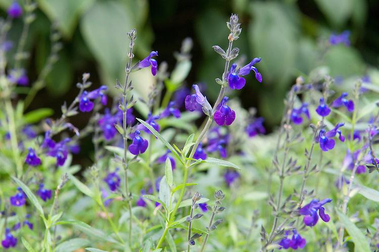 Salvia lycioides x greggii, mid October.