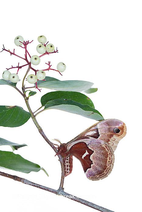 30040-00220 Promethea Moth (Callosamia promethea) female on Gray Dogwood (Cornus racemosa) on white background, Marion