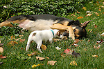 Jack Russell Terrier  playing with large mixed breed.
