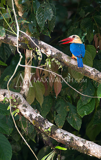 A stork-billed kingfisher photographed near the Borneo Rainforest Lodge.