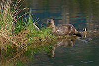 Northern River Otter (Lontra canadensis).  Western U.S., Summer..