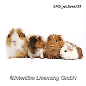 ANIMALS, REALISTISCHE TIERE, ANIMALES REALISTICOS, fondless, photos+++++,SPCHGUINEA135,#a#, EVERYDAY