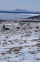 L.Fiedler on Trail to Shaktoolik Near Bering Sea<br /> Besboro Island