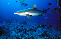 SHARKS<br /> Black Tip &amp; Silver Tip Reef Sharks<br /> Among the most abundant sharks inhabiting the tropical coral reefs of the Indian and Pacific Oceans, black tip reef sharks  prefer shallow, inshore waters and its exposed first dorsal fin is a common sight in the region.