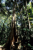 Amazon, Brazil. Tree with large, spreading buttress roots.