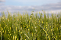 Winter Barley in ear<br /> ©Tim Scrivener Photographer 07850 303986<br />      ....Covering Agriculture In The UK....