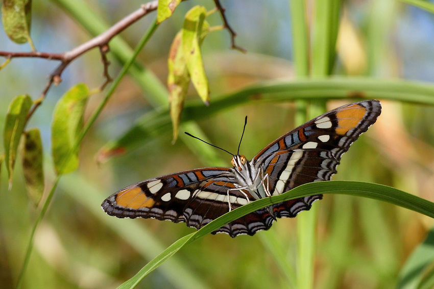 The California Sister butterfly (Adelpha californica) is named for its black and white markings on the forewing that resemble a Nun's habit.