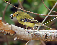 Adult yellow-bellied flycatcher with large ant