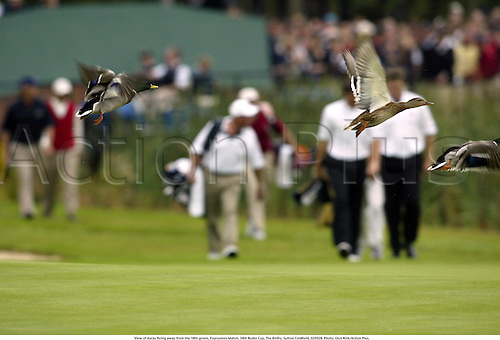 View of ducks flying away from the 18th green, Foursomes Match, 34th Ryder Cup, The Belfry, Sutton Coldfield, 020928. Photo: Glyn Kirk/Action Plus....2002.wildlife.movement.duck.golf