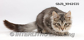 Kim, ANIMALS, REALISTISCHE TIERE, ANIMALES REALISTICOS, fondless, photos,+Silver tabby kitten, Loki, 4 months old, crouching, ready to pounce,++++,GBJBWP42630,#a#