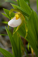 White Lady's Slipper, (Cypripedium candidum). This rare orchid is native to eastern North America and is found in wet prairies and fens (increasingly rare habitats). Castalia Prairie, Ohio, USA
