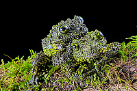 Two Mossy frogs (Theloderma corticale), camouflaged, Tam dao, Vietnam, Asia