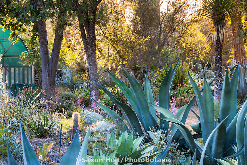 Agaves in drought tolerant water-wise Bancroft Garden in morning light