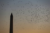 A flock of birds flies above the South Lawn of the White House with the Washington Monument in the background as Marine One carrying United States President Donald J. Trump approaches its landing zone at the White House on December 21st, 2017 in Washington, D.C. Credit: Alex Edelman / CNP