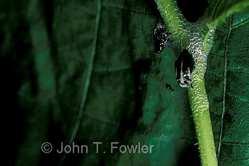 Meadow spittlebug nest with larvae