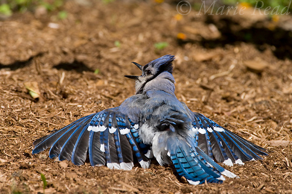 Blue Jay (Cyanocitta cristata) sunbathing in summer, New York, USA. A behavior done as part of feather care.