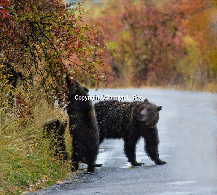 A grizzly bear and her cubs eat next to a road in Jackson Hole, Wyoming.