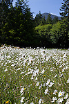 Field of daisies in Olympic National Park, Washington State, WA, USA
