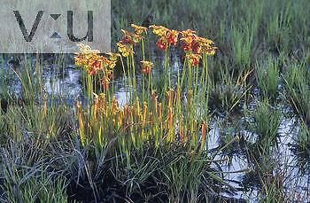 Pitcher Plant ,Sarracenia rubra,, Eastern USA.