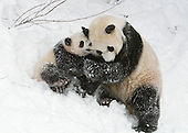 Washington, D.C. - February 12, 2006 -- Tai Shan, the 7-month-old giant panda cub at the SmithsonianÕs National Zoo, romps in the snow with his mother, Mei Xiang, on Sunday, February 12, 2006. This was the cubÕs first time playing in the snow and they both enjoyed wrestling and rolling around. The cub and his parents live at the National ZooÕs Fujifilm Giant Panda Habitat..Credit: Ann Batdorf - SmithsonianÕs National Zoo via CNP
