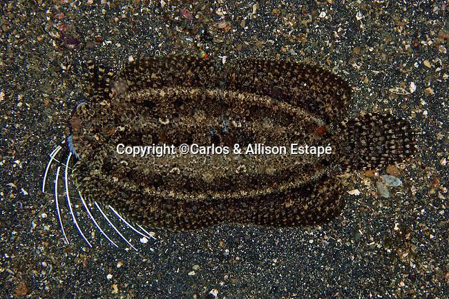 Samaris cristatus, Lembeh, Cockatoo flounder, Indonesia