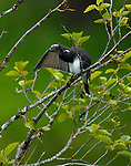 Eastern Kingbird (Tyrannus Tyrannus)cleaning his feathers in a serviceberry bush