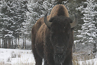A bull bison gets close during a spring snow at Yellowstone National Park, Wyoming