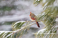01530-22914 Northern Cardinal (Cardinalis cardinalis) female in pine tree in winter snow Marion Co. IL