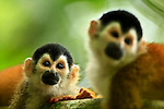 Black-crowned Central American Squirrel Monkeys (Saimiri oerstedii ssp. oerstedii), Golfo Dulce, Osa Peninsula, Costa Rica.