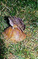 Baby robin, Turdus mirgratus, standing on ornate box turtle, terrapene carolinsis,hidden inside shell and leans over curiously