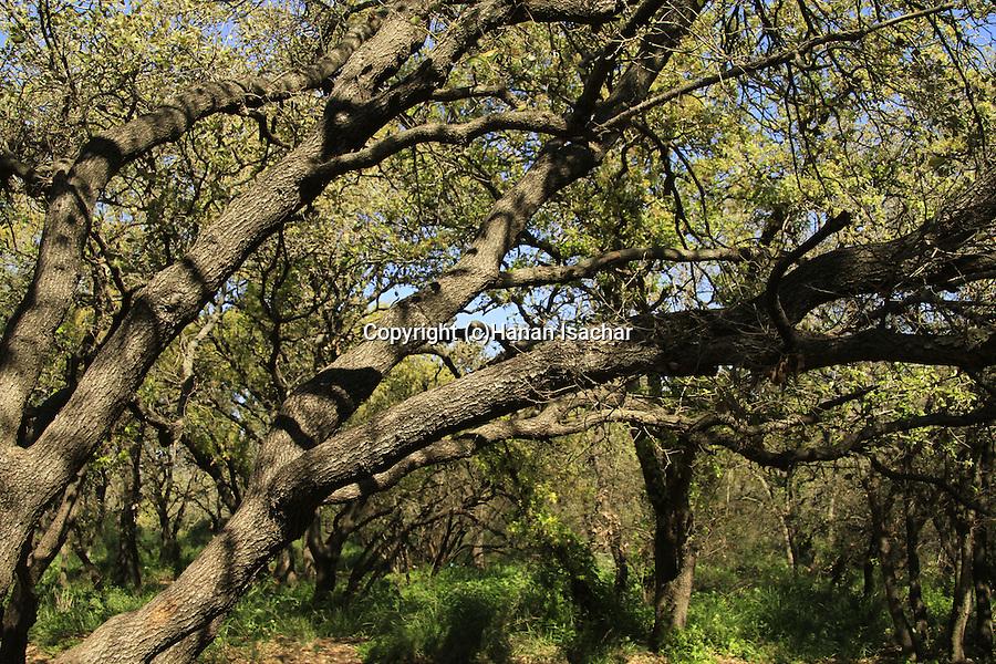Israel, Sharon, Mount Tabor Oaks in Alonei Yitzhak forest.