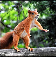 BNPS.co.uk (01202 558833)<br /> Pic: SarahNunn/BNPS<br /> <br /> Gimme Five...when i've got my balance.<br /> <br /> Amateur photographer Sarah Nunn was amazed to snap this high fiving red squirrel at the British Wildlife centre near Lingfield in Surrey.<br /> <br /> Unlike the Labour leader Jeremy Corbyn the exuberant rodent seemed to have no trouble pulling it off.
