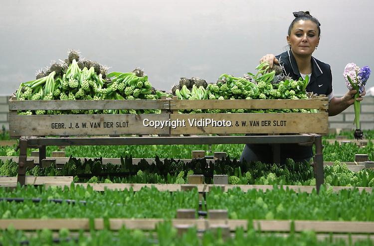 Foto: VidiPhoto<br /> <br /> NOORDWIJKERHOUT &ndash; Poolse medewerkers van hyacintenteler Gebr. J. W. van der Slot &amp; Zn. in Noordwijkerhout moeten donderdag hun handjes flink laten wapperen. De vraag naar hyacinten is op dit moment ongekend hoog en dat is opmerkelijk in de periode rond carnaval. De verkoop van bloemen is dan vaak flink minder. De internationale populariteit van de voorjaarsbloeier is mogelijk te danken aan de stijgende aandacht wereldwijd voor natuurlijke geuren. Hyacinten hebben  verreweg de meeste herkenbare zoete lentegeur. Tot en met begin mei wordt er dit jaar een recordaantal van 45 miljoen Nederlandse snijhycinten wereldwijd verkocht.