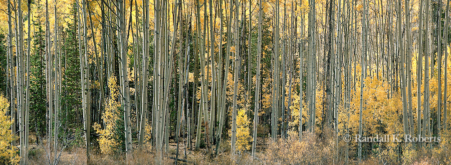 Aspen forest panorama, Sawatch Range, San Isabel National Forest, near Buena Vista, Colorado