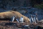Gentoo Penguins & Elephant Seal