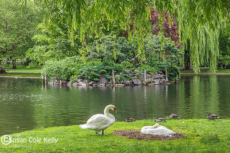 Nesting swans at the pond in the Boston Public Garden, Boston, Massachusetts, USA