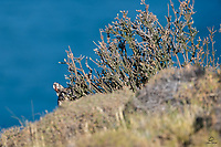 Can you spot the predator in this scene? One ear and one eye are visible.<br /> <br /> Wild Puma (Puma concolor) on the shore of Lago Sarmiento, Patagonia, Chile.