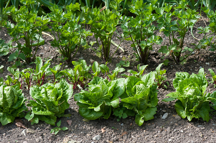 From front to back: Lettuce 'Little Gem', Beetroot 'Action', Celeriac 'Giant Prague', mid June.