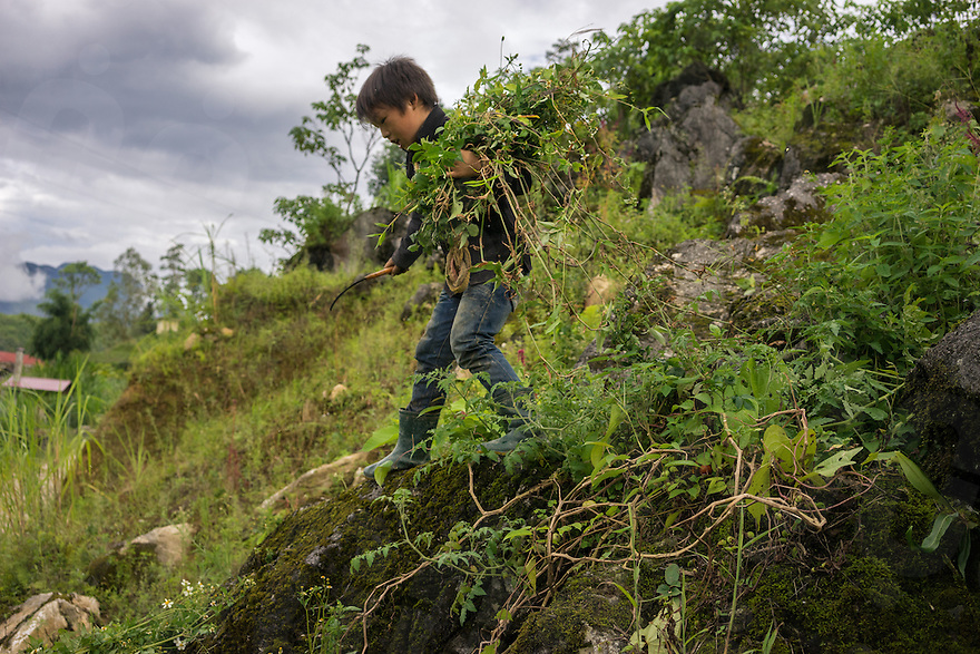 September 18, 2014 - Yen Minh (Vietnam). A kid cut grass for his cows in a small village outside Yen Minh. © Thomas Cristofoletti / Ruom