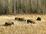 Bison on Alaska Highway