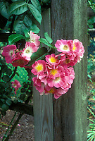 Rosa American Pillar (wichuriana hybrid), pink with yellow center, climbing roses