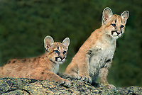 656326108 captive mountain lion cubs felis concolor study their surroundings from a lichen covered rocky knoll in a forested area in central montana in the united states
