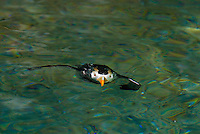 Tufted Puffin (Fratercula cirrhata).  Pacific Northwest.  May.